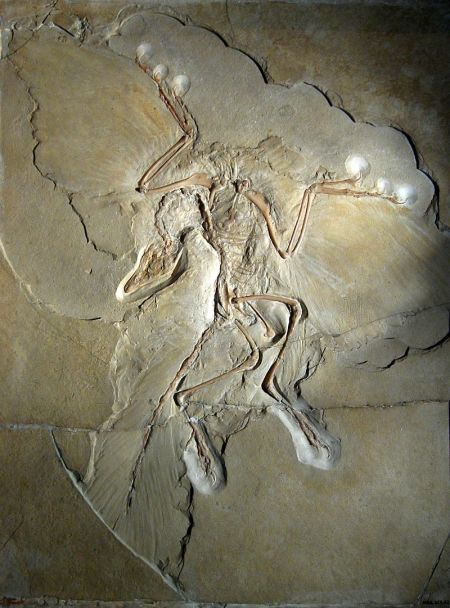 Fossil of Archaeopteryx in Solnhofen Limestone. Specimen displayed at the Museum für Naturkunde (Berlin). Photo by H. Raab, CC-BY-SA.